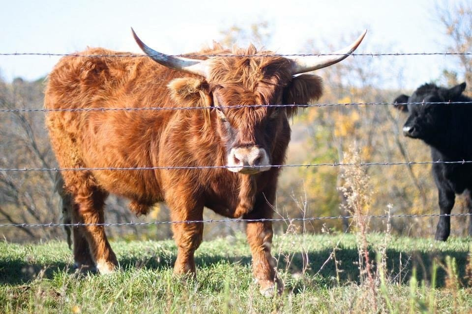 Premium Grass-Fed Scottish Highlander Cattle
