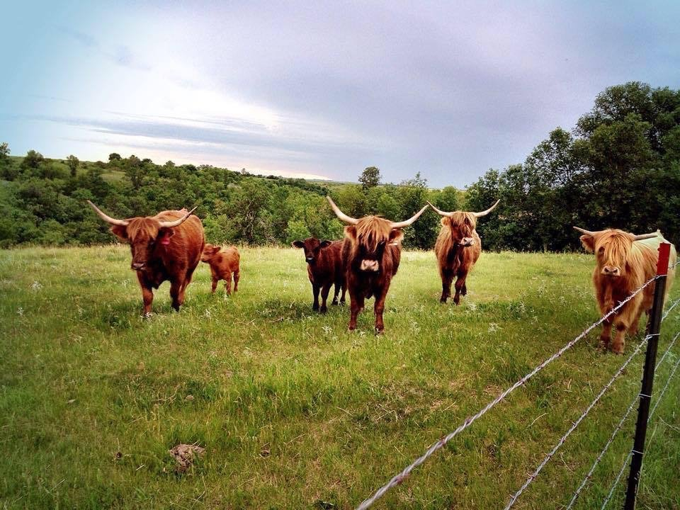 Grass-fed Beef Cattle